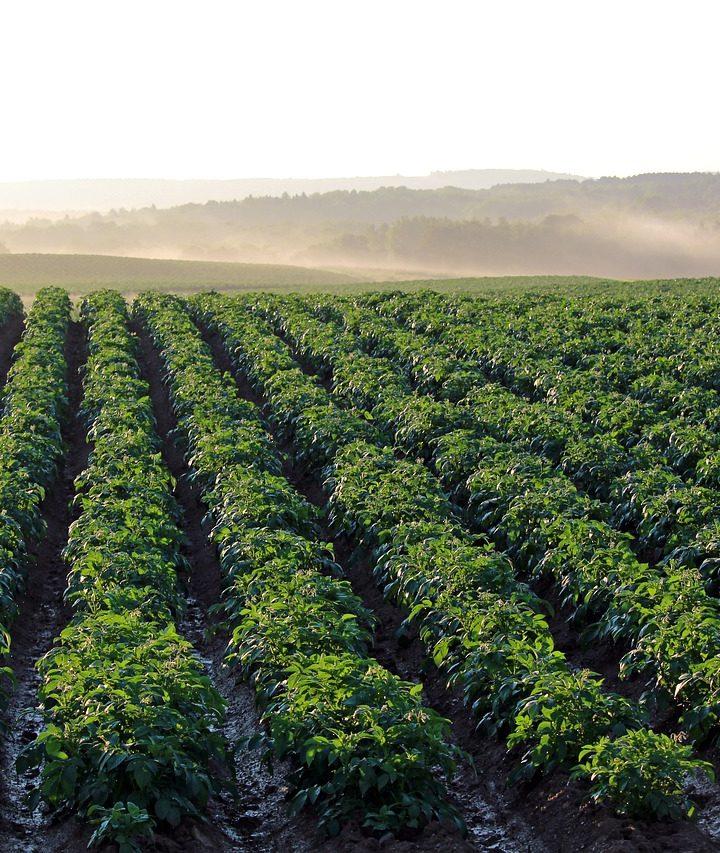 Zagwarantuj sobie udane zbiory ziemniaków ze swojej plantacji